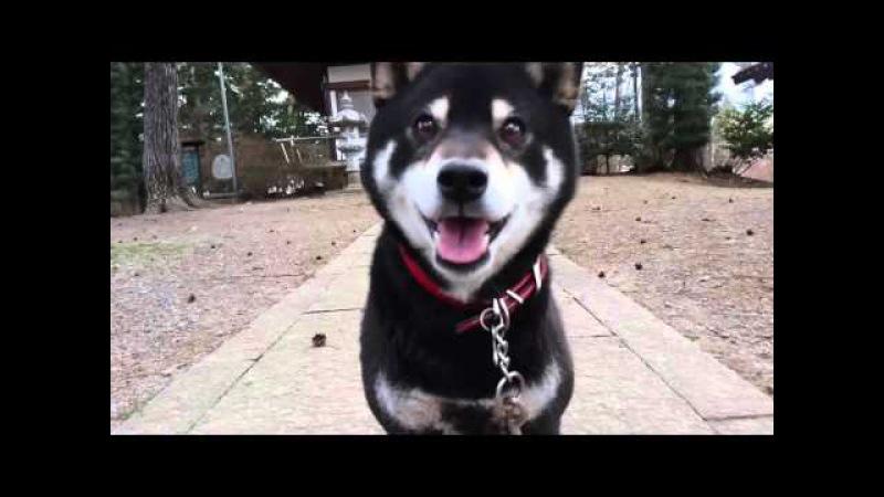 離れるようとすると、ちょこちょこと追いかけてくる黒柴犬。The black shiba inu followed cl