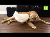 Dog And Duck Are Inseparable Best Friends.
