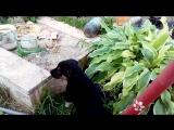 Моська лает на слона))) Дина и кошки) 05.08.17