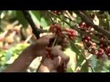 Сбор урожая India Plantation. Заказать можно - http://all-coffee.com.ua/product/india-plantation/