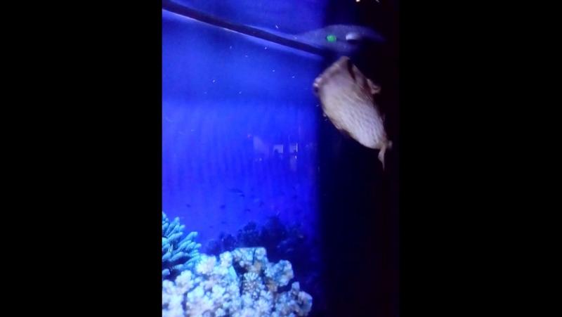рыба-ёж (та, что с выпученными глазами)
