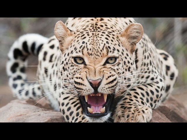Jaguar Documentary - The Real King Of The Jungle - History Channel HD