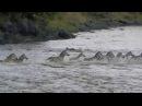 Нильские крокодилы атакуют зебру на реке Мара