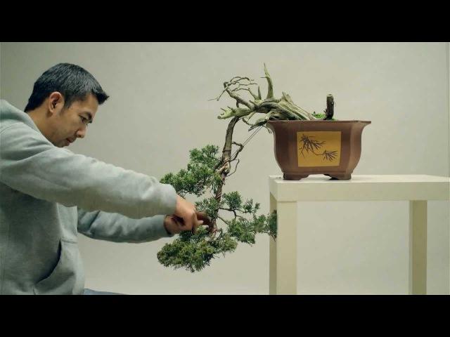 Bonsai styling - Juniperus Chinensis - Cascade style - Part II - by Viet Luan Tran