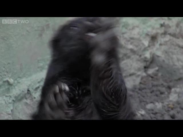 Honey Badger shake