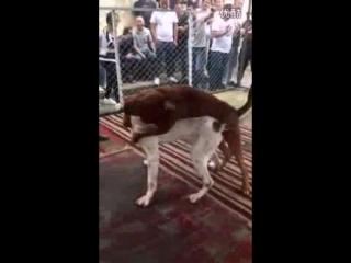 Bully kutta VS mix (булли кутта против метиса, Собачьи бои)