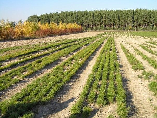 создание лесных культур на реконструкции Власов Власов