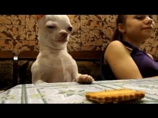 Собака ворует печенье