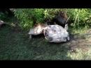 Черепаха пришла на помощь перевернувшемуся товарищу