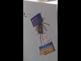 В Австралии паук пытался съесть мышь