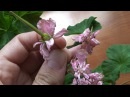 Как получить и собрать семена пеларгонии.