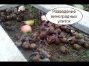 Разведение виноградных улиток. Бизнес идея