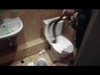 Появилось видео поимки питона в туалете офиса в центре Калининграда