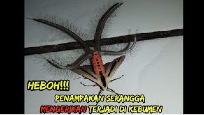 Heboh! Penampakan Serangga Mengerikan ini Ada di Kebumen