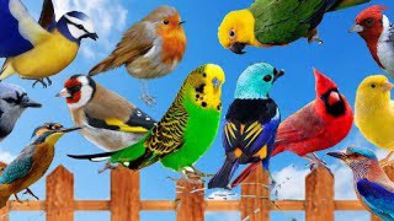 Cantos de Pássaros Silvestres - 75 Cantos de Pássaros