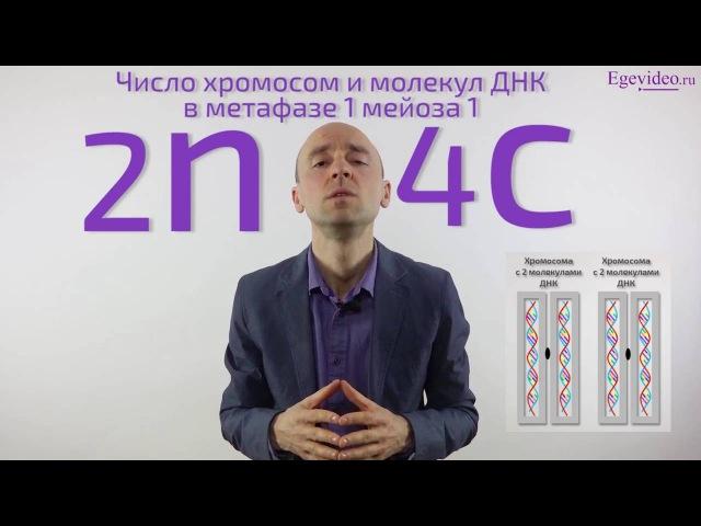 Набор хромосом и число молекул ДНК в метафазе 1 мейоза 1 (в сравнении с профазой 1)