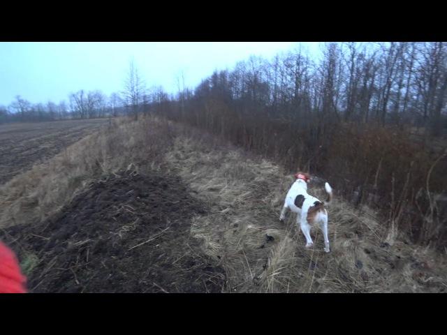Охота 124 с русской пегой гончей