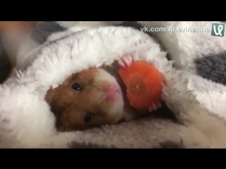 Хомяк кушает морковку