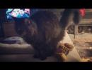 🎀Оделия Amorecoon mco котикиправятмиром👑 мейнкуны этолюбовьнавсюжизнь ❤️в доме где есть Кошка другого украшения не нужно