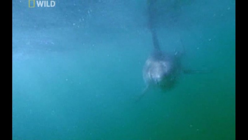 National Geographic: Суперхищники : Большая белая акула (2010)