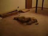 хахахах кошмарный сон собаки! вам такое и не снилось!