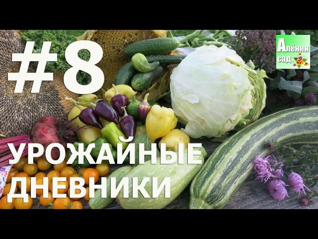 Урожайные дневники 8 22 09 16 🍓🌽🍅 Allotment diary harvesting 8