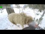 Сноубордист въехал в барана на скоростном спуске с горы