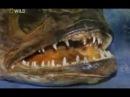 Змееголов в США, рыба которая поедает всё живое.