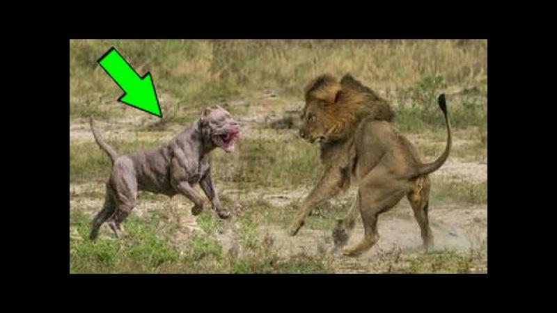 KRAL KİM PİTBULL mu ASLAN mı ►► En Güçlü Köpekler | Vahşi Hayvan Saldırıları | LİON ATTACK
