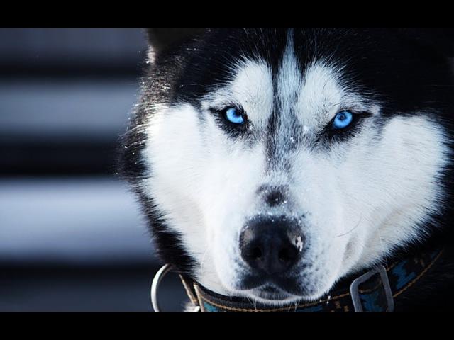 Хаски Фест Первый сибирский фестиваль северных ездовых собак и культуры народов севера