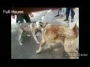 Собачий бой #1