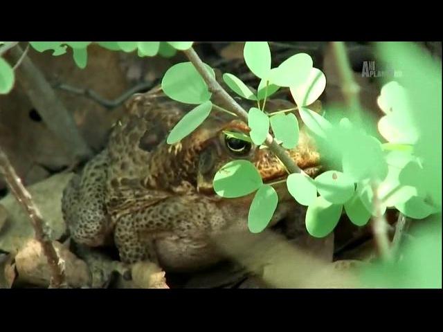 Спасатель змей 02 серия. Крокодилы-каннибалы / Snake Crusader with Bruce George (2008)