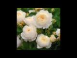 Райский сад с английскими розами - Фредерик Шопен