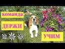 УЧИМ СОБАКУ ДЕРЖАТЬ ПРЕДМЕТ В ЗУБАХ~БИГЛЬ ДЖИНА~ как научить собаку команде держи!