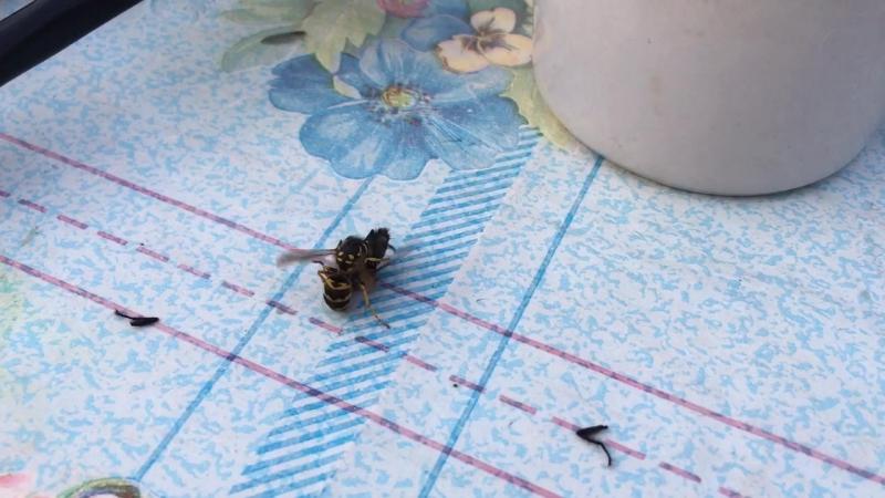 Оса украла муху на обед