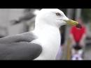 Black tailed Gull Temminck's Gull Чернохвостая чайка Larus crassirostris