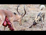 Wild Dogs v Impala  Impala Fights Back as Guts Fall Out