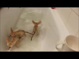 Fennec fox babies take a bubble bath