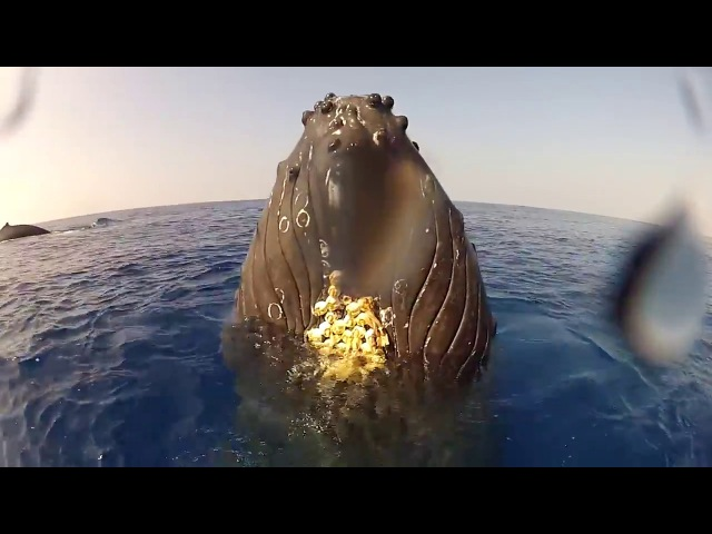 INCREDIBLE Underwater Video of Whale Encounter in Kona, Hawaii January 2013 UNEDITED