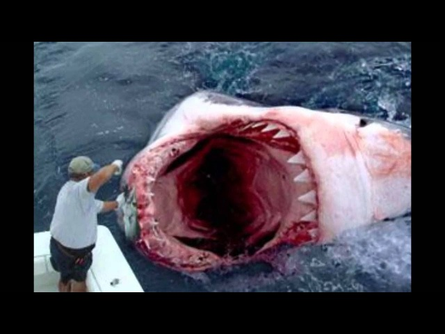 Акулы, которые нападали на людей. The most dangerous sharks that attacked people.