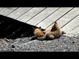 Baby Foxes Playing in the Sun