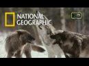 Волки. В поисках людоеда. Жертвы волков. Документальные фильмы National Geographic. Nat Geo WILD