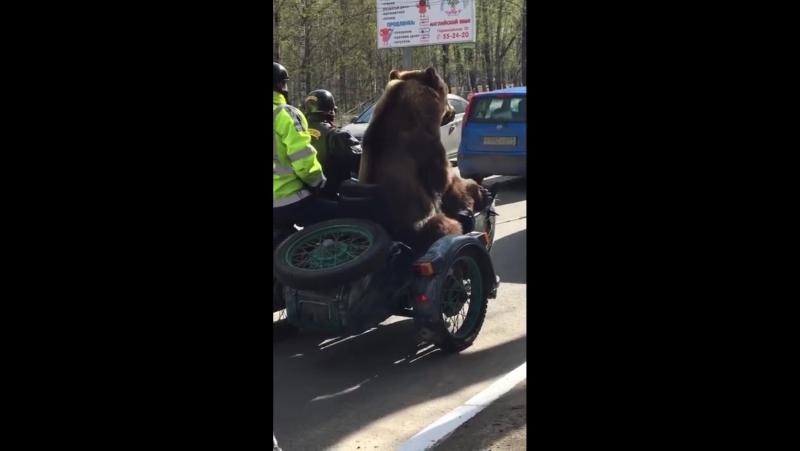 Где твой медведь?! В Сыктывкаре на мотоцикле!