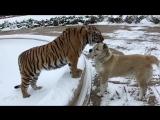 Верные друзья - Тигр и алабай ...