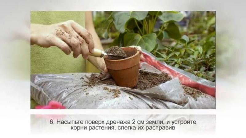 СПАТИФИЛЛУМ размножение Цветок ЖЕНСКОЕ СЧАСТЬЕ, размножение делением куста
