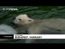 Белые медведи спасаются от жары