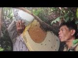 Сбор меда от диких лесных гигантских пчел в Камбодже!