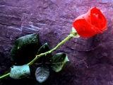Janis Joplin The Rose