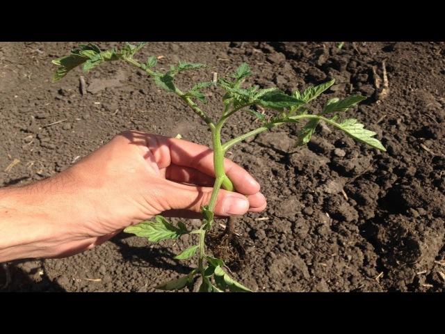 Секреты высадки рассады томатов / Как добится 100% приживаемости