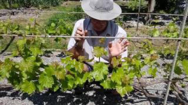 Нормирование количества соцветий на зеленых побегах винограда
